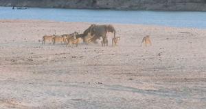 Lions with baby elephant [screengrab]