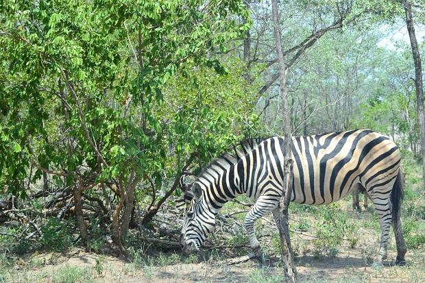 Kruger Park - Zebra