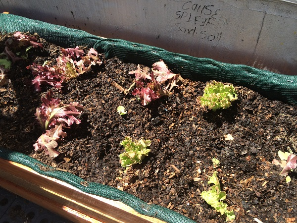 Lettuce grown from Jozi Food Farmer's Braamfontein rooftop garden on the corner of 70 Juta.