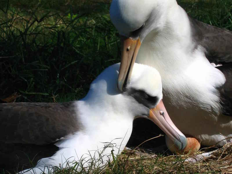 Image via Pixnio http://www.pixnio.com/free-images/fauna-animals/birds/albatross-birds-pictures/laysan-albatross/laysan-albatross-pair-birds.jpg