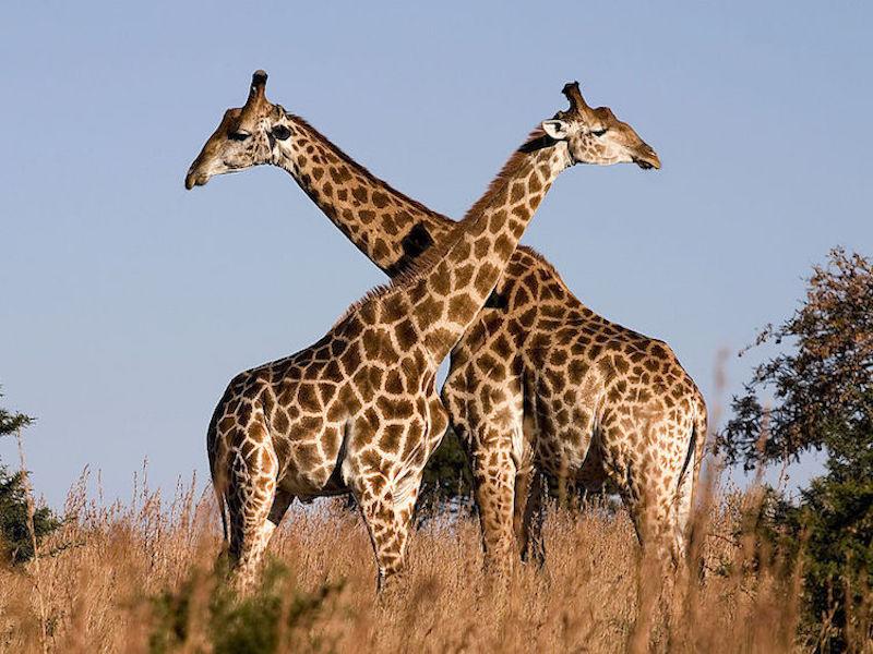 Image via Wikimedia Commons https://upload.wikimedia.org/wikipedia/commons/thumb/0/02/Giraffe_Ithala_KZN_South_Africa_Luca_Galuzzi_2004.JPG/1024px-Giraffe_Ithala_KZN_South_Africa_Luca_Galuzzi_2004.JPG