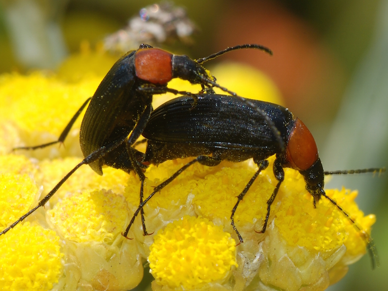 Image via Wikimedia Commons https://upload.wikimedia.org/wikipedia/commons/2/2d/Beetles_June_2008-1.jpg