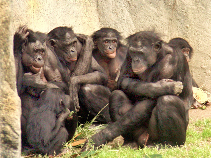 Image via Wikimedia Commons https://upload.wikimedia.org/wikipedia/en/7/76/6_bonobos_WHCalvin_IMG_1341.JPG