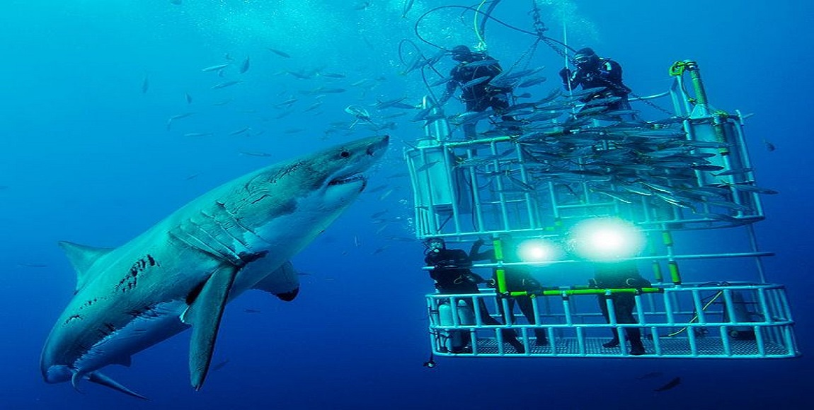 South Africa Shark Cage Diving Marine Eco Tourism Featured Image - Wikicommons